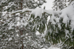 Christmas evergreen spruce tree branch Royalty Free Stock Photos