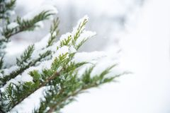 Christmas evergreen spruce tree with fresh snow on white. Christmas evergreen spruce tree or fir with fresh snow on white Royalty Free Stock Photo