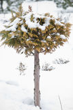 Christmas evergreen spruce tree with fresh snow on Royalty Free Stock Photos