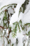 Christmas evergreen spruce tree Royalty Free Stock Photo