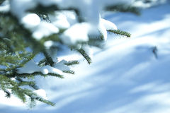 Christmas evergreen spruce tree with snow Royalty Free Stock Photos