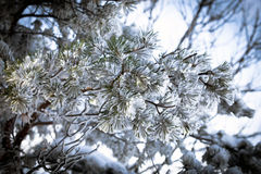 Christmas evergreen spruce tree with snow Stock Photography