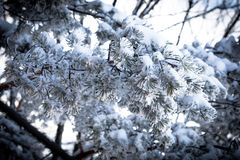 Christmas evergreen spruce tree with snow Stock Photo