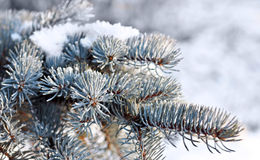 Christmas evergreen tree with snow Stock Images
