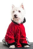 Christmas Fashion Dog stock photos