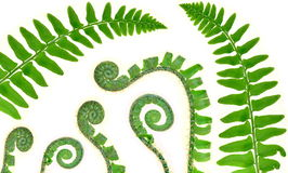 Christmas Fern Fronds And Fiddleheads. (Polystichum acrostichoides) isolated on a white background royalty free stock photo