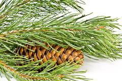 Christmas fir branch with cones Royalty Free Stock Image