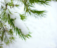 Christmas fir branch in winter forest Royalty Free Stock Photography