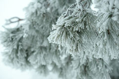 Christmas fir branch in winter forest, background Royalty Free Stock Photo