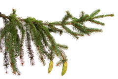 Christmas fir tree. Christmas decoration isolated on the white background Bare branch of Christmas fir tree Royalty Free Stock Image