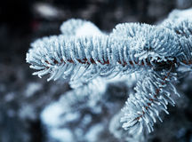 Christmas fir-tree. Winter frost on spruce tree  close-up .Shallow depth-of-field Stock Photos