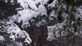 Christmas Fir Trees In Snow Winter stock footage