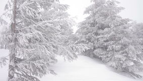 Christmas fir trees in snow winter wild forest snowing stock video