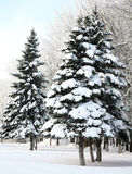 Christmas fir trees with snowy branches Royalty Free Stock Images