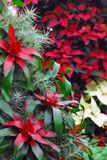 CHRISTMAS- New Zealand- Red Bromeliads and Poinsettias. Christmas floral decoration of beautiful red Bromeliads and Poinsettias in Christchurch, New Zealand royalty free stock photos