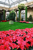 Christmas Floral Display. Poinsettias bloom in a conservatory garden setting Stock Photo