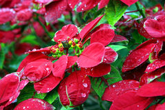 Christmas Flower. Great color and beauty from this flowers depicting the christmas spirit Stock Photos