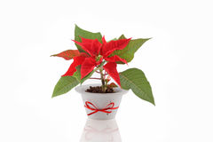 Christmas Flower Royalty Free Stock Photos