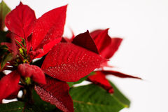 Christmas flower Royalty Free Stock Image