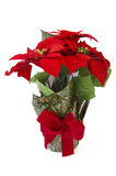 Christmas flower Poinsettia. Isolated on white Stock Image