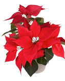 Christmas flower poinsettia. Red christmas flower poinsettia isolated white background Stock Photos