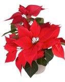 Christmas flower poinsettia Stock Photos