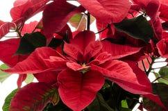 Christmas flower Poinsettia Stock Photography
