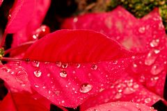 Christmas flower or poinsettia with droplet after the rain, Close up red leaves floral in the garden royalty free stock photography