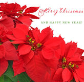 Christmas flower poinsettia. Isolated on white background Royalty Free Stock Photo
