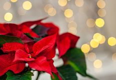 Free Christmas Flower Poinsettia On Defocused Lights Background Stock Photo - 133954490