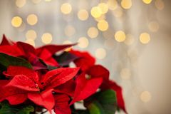 Free Christmas Flower Poinsettia On Defocused Lights Background Royalty Free Stock Photography - 133954587