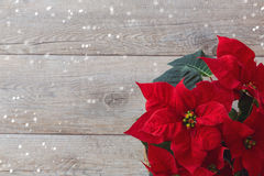 Christmas flower poinsettia over wooden background. With copy space royalty free stock image