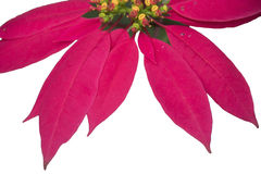 Christmas flower poinsettia Stock Photography