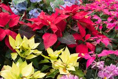 christmas flower. red blooming poinsettia. blue hydrangea in gar Royalty Free Stock Photos
