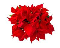 Christmas flower red poinsettia isolated white background. Christmas flower red poinsettia isolated on white background. Top view stock photo