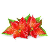 Christmas flower on a white background Royalty Free Stock Photo