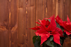 Christmas flower on wooden background. Stock Image