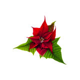 Christmas flowers poinsettia Stock Images