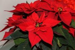 Red Poinsettia Flower, Euphorbia Pulcherrima, Nochebuena stock photo