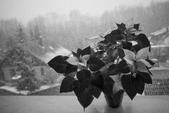 Christmas Flowers. It snows in the village with Christmas flowers royalty free stock photography