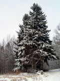 Christmas in forest. Winter landscape of two fir, near road and forest Royalty Free Stock Image