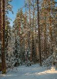 A Sunny day in the Christmas forest. Christmas forest on a Sunny frosty day Stock Photography