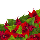 Christmas frame from poinsettia flowers biur on white Royalty Free Stock Photo