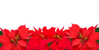 Christmas frame from poinsettia flowers. Isolated on white Stock Images