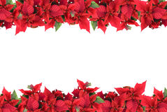 Christmas frame from poinsettias isolated Stock Images