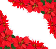 Christmas frame from poinsettias Royalty Free Stock Image