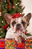 Christmas French Bulldog Stock Photography