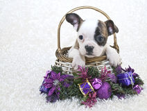 Christmas French Bulldog Stock Images