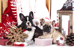 Christmas French Bulldog Stock Photos