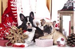 Christmas French Bulldog stock photos